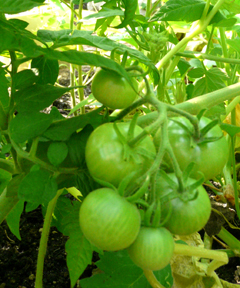 green_tomatoes